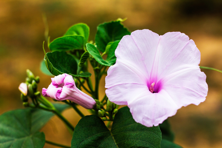 vivid: Morning Glory Flower Purple with white buds and bloom with beautiful background blur brown.