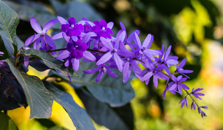 petrea volubilis: Petrea, kohautiana blooming beautifully, with soft lighting and a blurred background. Stock Photo