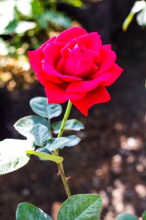 red rose bokeh: Rose, bright red bloom with beautiful background blur bokeh beautiful garden.