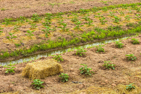 watercourse: Eggplant seedlings plantation with straw bales prepared the soil and watercourse flow. Stock Photo