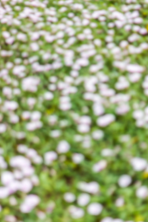 resemble: Background blur focus beautiful small white flowers which resemble morning glory flowers. Stock Photo