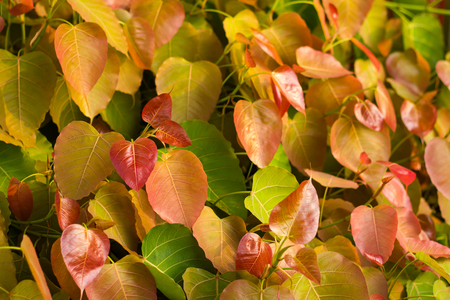 peepal tree: Background Bo leaves are also a variety of soft colors, a symbol of Buddhism beautiful.