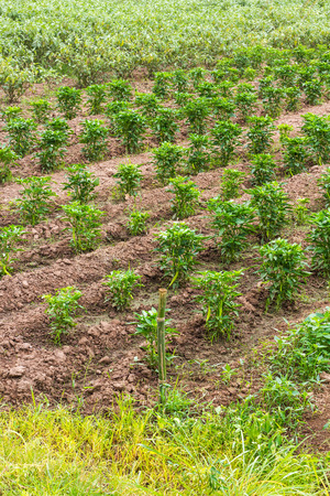 barren land: Background plantation pepper and eggplant grass on barren land which was staged.