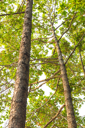 conservative: View beneath the branches and leaves of many trees towering probably conservative.