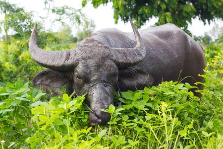nibble: Close Buffalo Thailand large torso muddy wet black hiding nibble the grass, eat delicious.