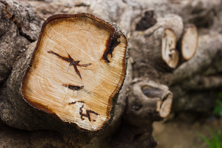 sawed: Background Close-cut stumps of large trees which fell by deforestation and left.