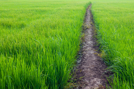 green ridge: Background with lush green rice leaf weeds with soil ridge path between fields.