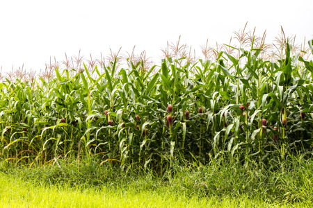 agricultural crops: Scenery agricultural crops growing corn for harvest weeds near a cloudy backdrop.