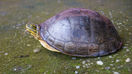 Close-foot Amboina Box Turtle, which contracted in the shell, but head popped out the old concrete floor. Stock Photo