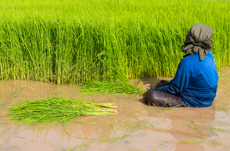 Close elderly women farmers are sitting on water withdrawals rice seedlings in paddy fields.