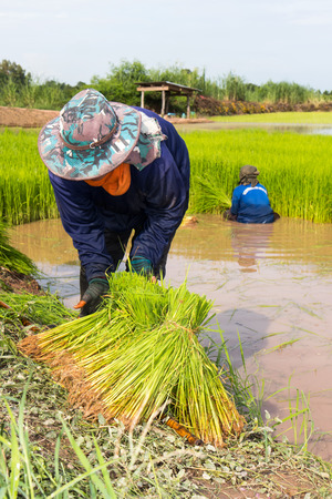 Female farmer pulls the crop and cut its leaves are preparing to tie transplant rice seedlings. Stock Photo