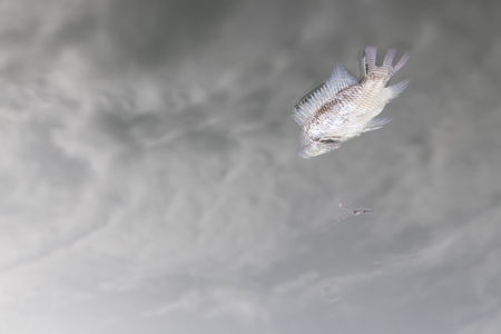 Close up of fish floating dead in the water because of pollution, which is a reflection of cloudy.