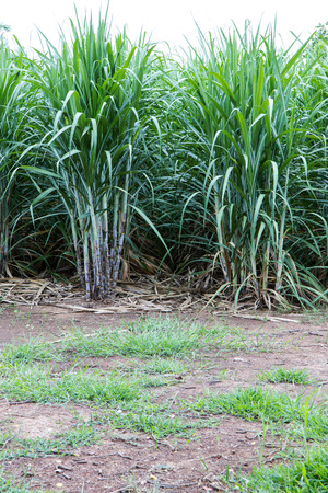 agricultural crops: Close-up background leaves of sugarcane, which is grown for harvesting agricultural crops.
