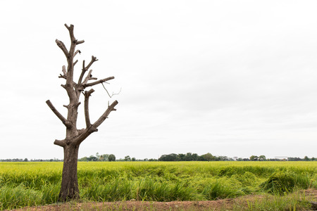 almost all: Close isolates poplar bare and dry, dead branches cut off almost all the rice mound area.