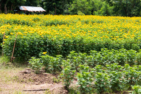 vibrant cottage: Marigolds bloom and beautiful garden seedlings, which have tin roof shack far.