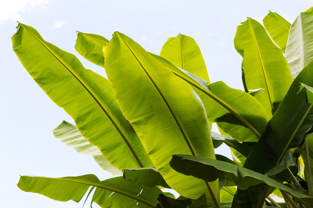 Background banana leaves plenty of light which passes from a low angle, beautifully decorated.