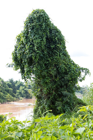 Leaves, vines, ivy-covered trees grow larger, which makes it look like a scary monster.