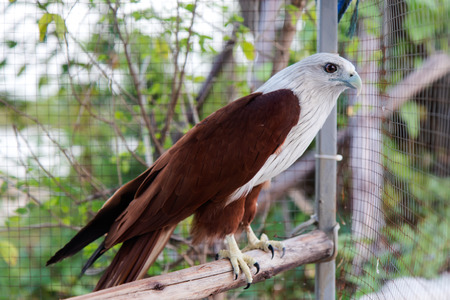 Close-eagle, brown and white, no freedom, which is locked in a cage of steel mesh grille.