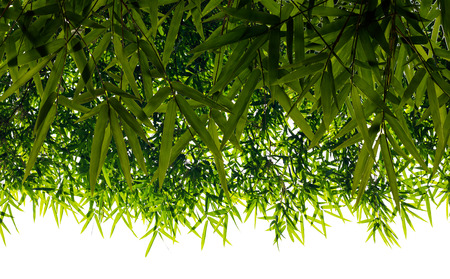 Isolates background backlit bamboo leaf clusters, which overlap with different sizes as well.
