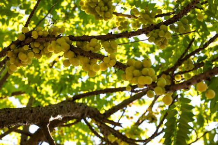 many branches: Star gooseberry fruit on the branches of many of its leaves is backlit beautiful.