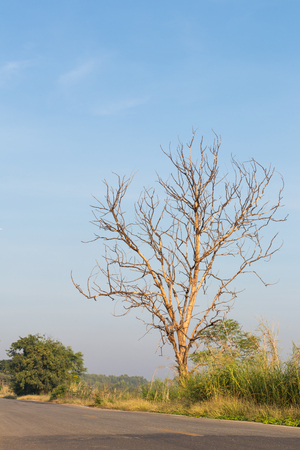Dry dead trees growing isolation in the forest beside roads common in rural Thailand. Stock Photo