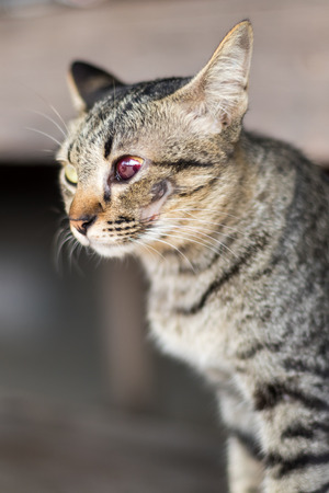 Color blindness red tabby with blood and wounds from accidental ingestion cheek bone.