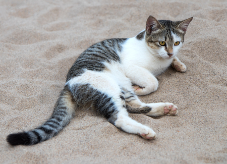 black and white striped cat lying on the sand for a vacant stare