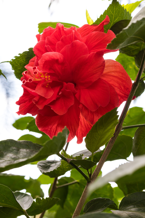 Close hibiscus petals overlapping red bloom beautifully in the green leaves of its own.