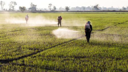 Workers employed farmers are going to spray herbicides on paddy fields in a rural area early morning.