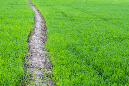 Rice background fresh green leaves growing beauty waiting to be harvested, which is cut through the ridge. Stock Photo