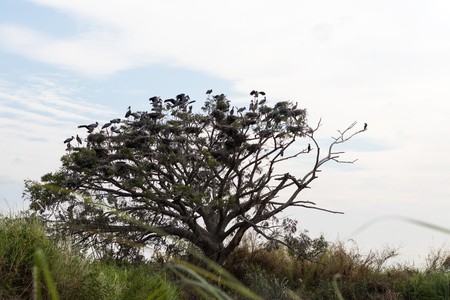 openbill: Group Openbill many birds perched on tree branches to dry large nest.