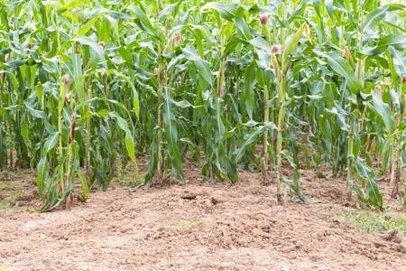 yielding: Background growing corn crops for harvest yielding on the ground. Stock Photo