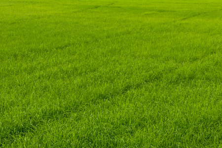 Scenic background leaves green rice fields, which are spectacular and growing to yield a harvest.