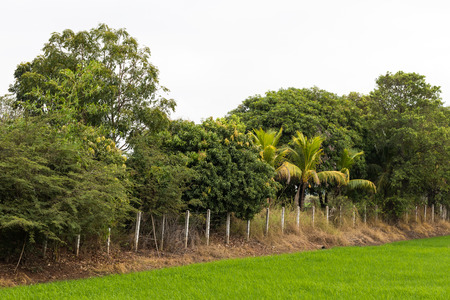 Plant a variety of trees growing on a fence near a mound of rice, which has green leaves.