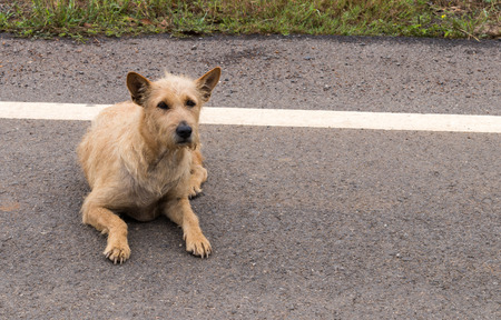 Thailand strains mix dog lying on the ground beside the road watching something.