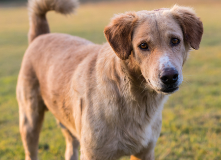 Close brown dog face strains mixed stands of Thailand acted doubt stand on the lawn. Stock Photo