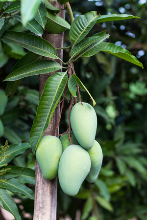 Mango fruit with many green leaves, which hang on the branches, must use a brace to prevent falling.