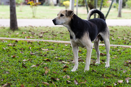 Thai black dogs, white legs, standing on the grass and gazing at something in a garden. Stock Photo