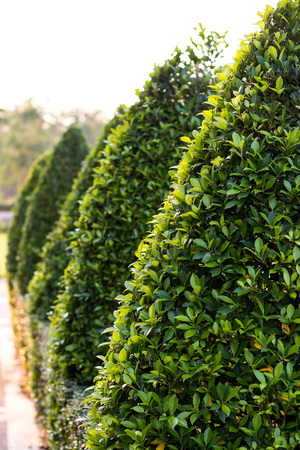 Close-up view of bonsai bushes, triangular green leaves, decorated in rows in a garden.