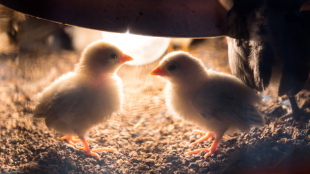 tiny lenses: Close-up image of a white chick back light under a lamp to warm its nest. Stock Photo