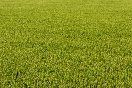 Background view over the rice fields, where there are many grains waiting to be harvested without weeds.