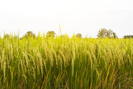 Close up view of a low-yield rice seeds yellow await harvest scene with a white background. Standard-Bild