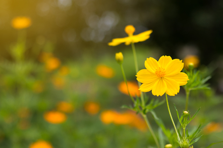 Close Cosmos flowers blooming beautifully with yellow bokeh background blur with orange light. Stock Photo