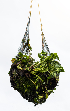 Many hyacinths are contained in a hanging net which is lifted from the canal to be discarded. Stock Photo