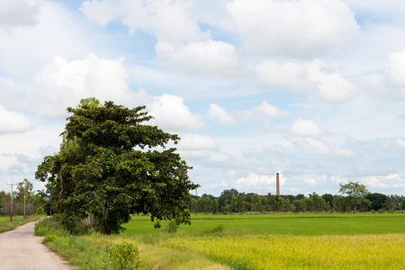 View tree growing beside a lonely road in rural rice field with cloudy sky as a backdrop.