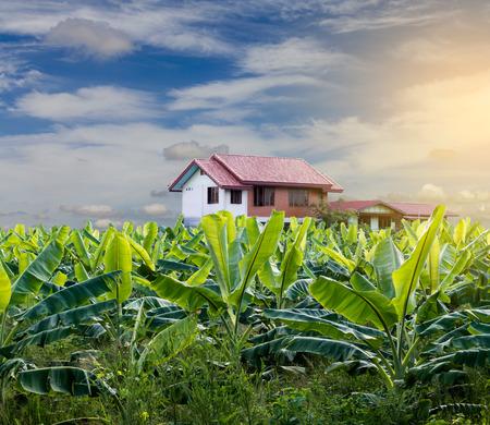 Bekijk tuin geplant bananenbomen, veel felle groene bladeren terug licht in de vroege ochtend in de buurt van de huizen.
