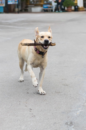 The white-brown Labrador dog is running back and forth on the street to bring back the owner.