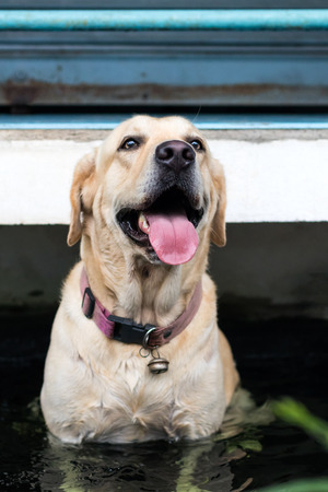 Close the face of a Labrador dog sitting in his tongue to relax in the bath tub after a tiring day. Stock fotó