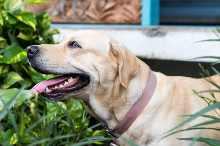 Close-up view of a Labrador dog looking and tongue tiring with playfulness near home Imagens