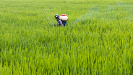 Thai male farmer is spraying manure into rice paddies, which grow long and lush.